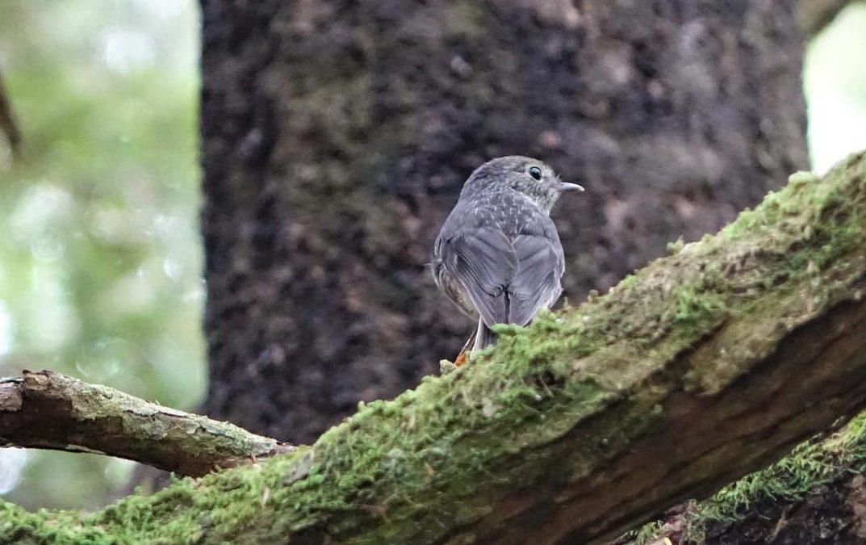 The roaming robin